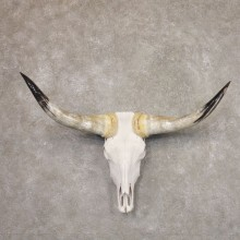 Longhorn Steer Skull European Mount For Sale #22188 @ The Taxidermy Store