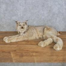 Laying Alaskan Lynx Taxidermy Mount For Sale