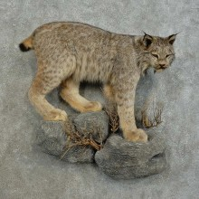 Alaskan Lynx Taxidermy Mount For Sale