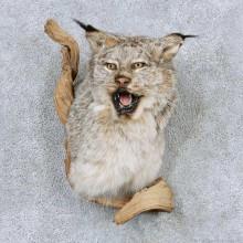 Alaskan Lynx Taxidermy Shoulder Mount For Sale