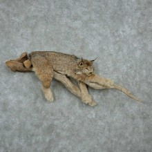 Laying Alaskan Lynx Life Size Taxidermy Mount For Sale