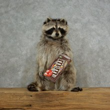 """M&M's"" Raccoon Mount For Sale #17119 @ The Taxidermy Store"