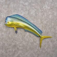 Mahi Mahi Taxidermy Fish Mount #12280 For Sale @ The Taxidermy Store