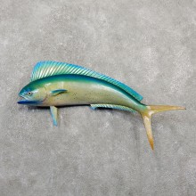 Mahi Mahi Taxidermy Fish Mount #20052 For Sale @ The Taxidermy Store