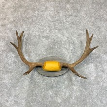 Maine Moose Antler Plaque For Sale #22651 @ The Taxidermy Store