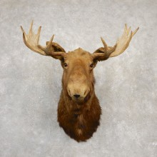 Maine Moose Shoulder Mount For Sale #20512 @ The Taxidermy Store