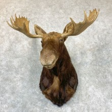 Maine Moose Head Taxidermy Shoulder Mount For Sale