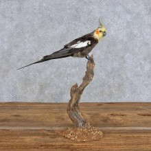 Perched Male Cockatiel Taxidermy Bird Mount For Sale