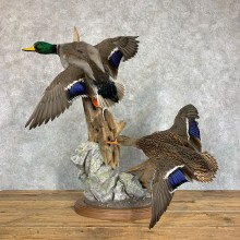 Mallard Drake and Hen Taxidermy Duck Mount For Sale #22899 - The Taxidermy Store