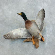 Mallard Duck Flying Taxidermy Mount #18523 for sale @ The Taxidermy Store