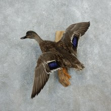 Mallard Hen Duck Flying Taxidermy Mount #18324 for sale @ The Taxidermy Store