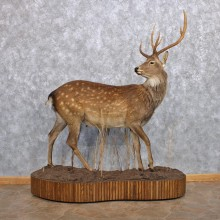 Manchurian Sika Deer Life-Size Taxidermy Mount For Sale