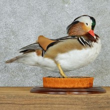 Mandarin Duck Taxidermy Mount #12968 For Sale @ The Taxidermy Store