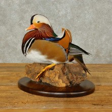 Mandarin Duck Bird Mount For Sale #16357 @ The Taxidermy Store