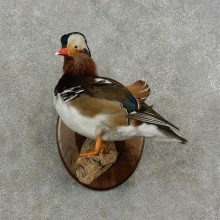 Mandarin Duck Bird Mount For Sale #17084 @ The Taxidermy Store