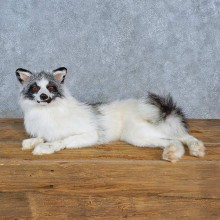 Arctic Marble Fox Taxidermy Mount For Sale