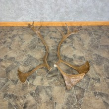 Matched Set Caribou Antlers For Sale #23008 @ The Taxidermy Store