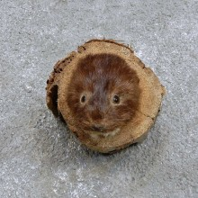 American Mink Head Mount For Sale #14413 @ The Taxidermy Store