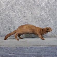 Mink Life Size Mount #11704 For Sale @ The Taxidermy Store