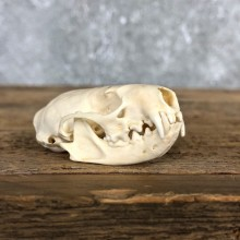 Mink Full Skull Taxidermy Mount For Sale #19840 @ The Taxidermy Store