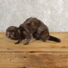 Mink Life-Size Mount For Sale #20632 @ The Taxidermy Store