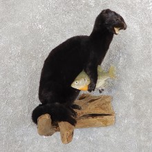 Mink Life-Size Taxidermy Mount For Sale #19812 @ The Taxidermy Store