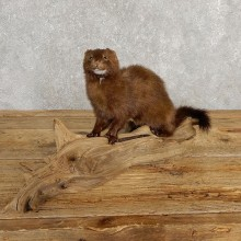 Mink Life-Size Taxidermy Mount For Sale #20244 @ The Taxidermy Store