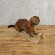 Mink Life-Size Taxidermy Mount For Sale #21039 @ The Taxidermy Store