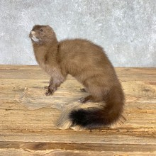 Mink Life-Size Taxidermy Mount For Sale #21689 @ The Taxidermy Store