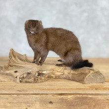 Mink Life-Size Taxidermy Mount For Sale #21690 @ The Taxidermy Store