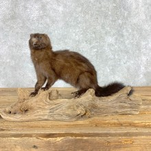 Mink Life-Size Taxidermy Mount For Sale #21691 @ The Taxidermy Store