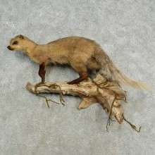 Mongoose Life-Size Taxidermy Mount For Sale