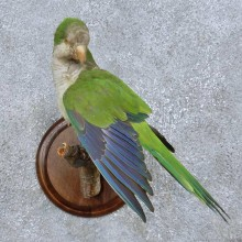 Monk Parakeet Bird Mount For Sale #15053 @ The Taxidermy Store