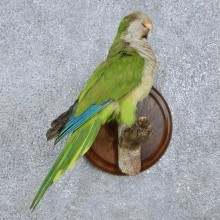 Monk Parakeet Bird Mount For Sale #15054 @ The Taxidermy Store