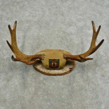 Eastern Canadian Moose Antler Plaque Mount For Sale #16749 @ The Taxidermy Store