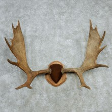 Moose Antlers Taxidermy Mount #13005 For Sale @ The Taxidermy Store