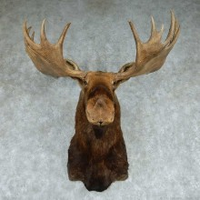 Moose Shoulder Mount #13756 For Sale @ The Taxidermy Store