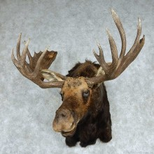 Moose Shoulder Mount - Outside Spread 47 6/8""