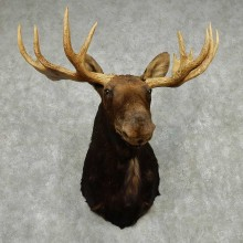 Moose Taxidermy Shoulder Mount For Sale