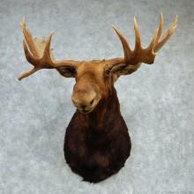 """Alaskan Moose Shoulder Mount - Outside Spread 50 0/8"""""""