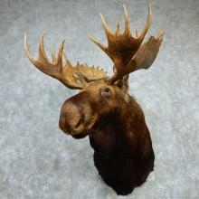 """Alaskan Moose Shoulder Mount - Outside Spread 43 3/8"""""""