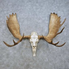 Moose Skull Antler European Mount For Sale #15015 @ The Taxidermy Store