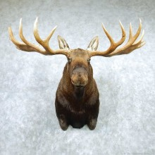 Alaskan Yukon Moose Head Taxidermy Shoulder Mount For Sale