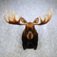 Moose Taxidermy Shoulder Mount For Sale #14233 @ The Taxidermy Store