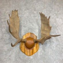 Moose Antler Plaque For Sale #21933 @ The Taxidermy Store