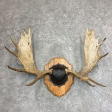Moose Antler Plaque For Sale #21936 @ The Taxidermy Store