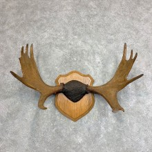 Moose Antler Plaque For Sale #21937 @ The Taxidermy Store
