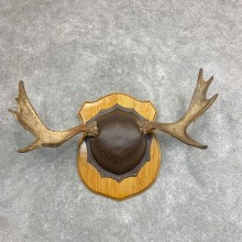 Moose Antler Plaque For Sale #21939 @ The Taxidermy Store