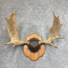 Moose Antler Plaque For Sale #21940 @ The Taxidermy Store