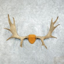 Moose Antler Plaque Mount For Sale #18373 @ The Taxidermy Store